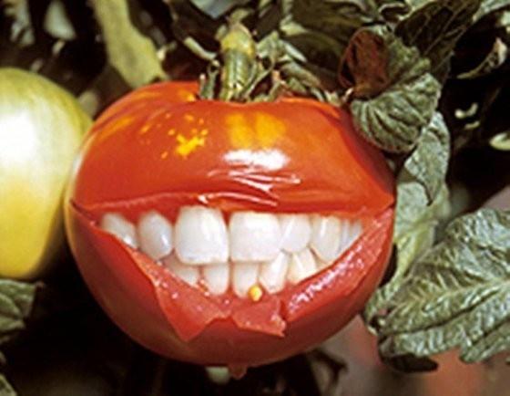 помидор ГМО