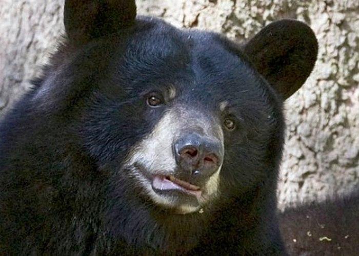 Виннипег — канадская черная медведица из Лондонского зоопарка