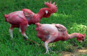 ГМО куры без перьев