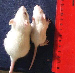 ГМО и крысята