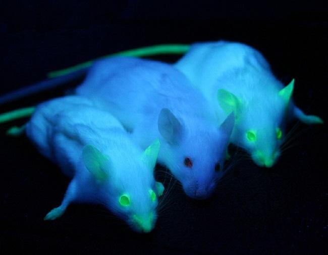 ГМО флуоресцирующие мыши
