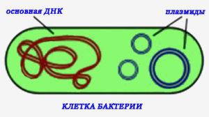 клетка бактерии_ДНК_плазмиды
