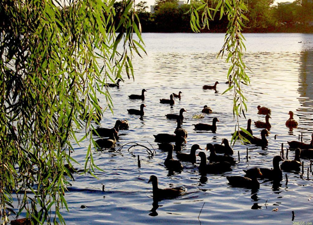 птицы еа воде 1