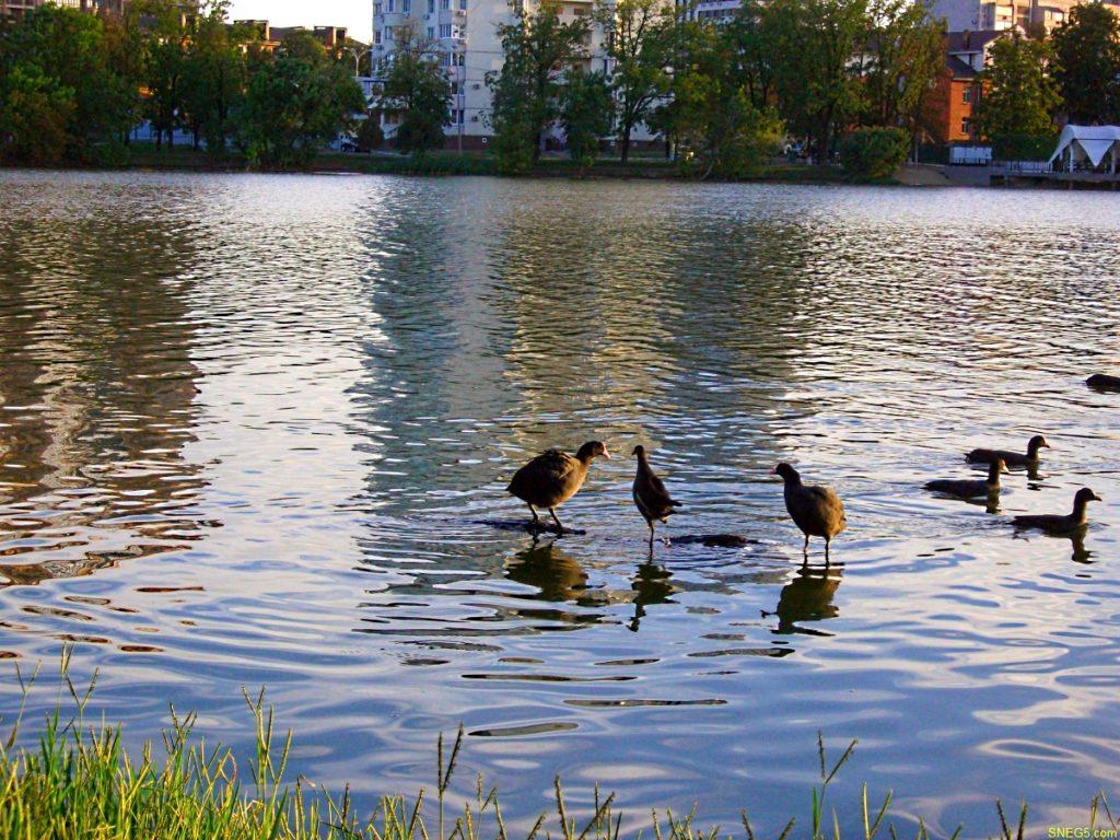 птицы на воде