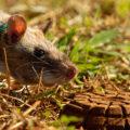 Крысы-бомбоискатели