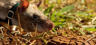 Крысы-бомбоискатели — Mine Detection Rats